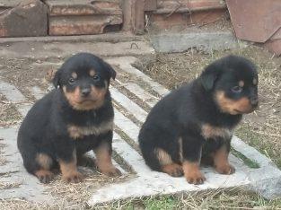 Eladó Rottweilwr kiskutyák