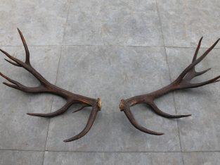 Szarvas agancs felvásárlás, és Hagyatékbolszármazó vadászati trofea, Országosan.