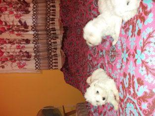 Máltai Selyemszőrű kiskutyák eladók!