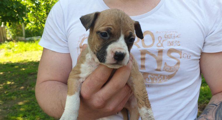 Amerikai Stafforshire terrier